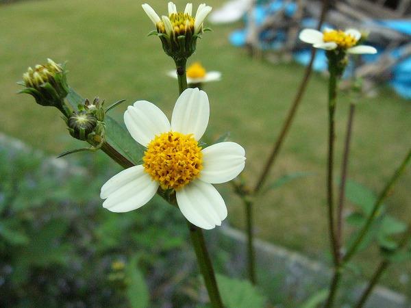 宗吉瓦窯跡の土手の花3