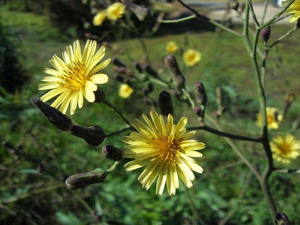 宗吉の草花2
