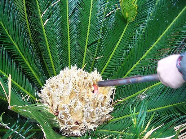 粟島のソテツの花