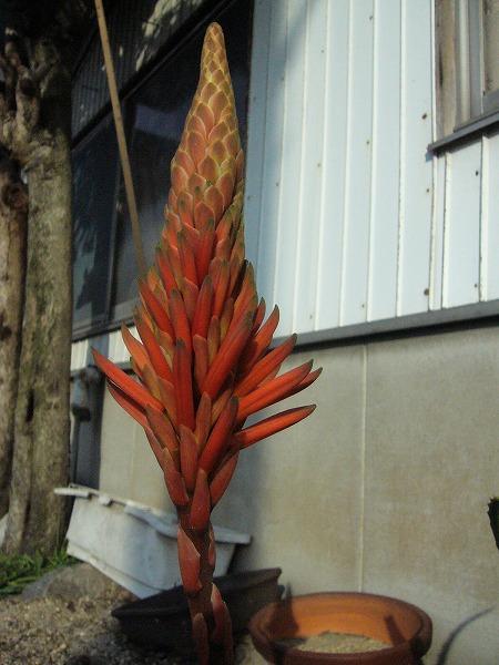 イシャイラズの花1