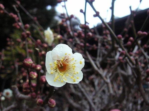 梅の花とつぼみ