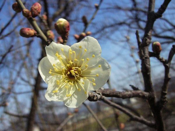 土手の白梅咲き始め