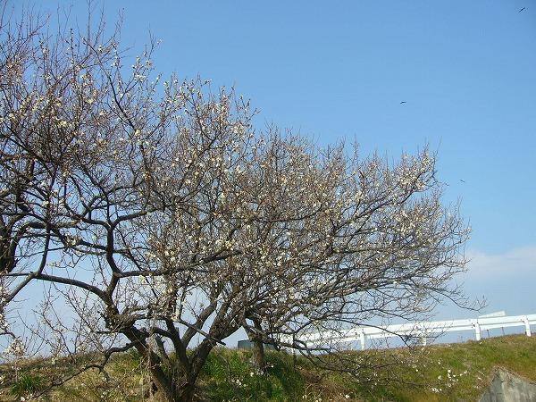 土手の白梅樹