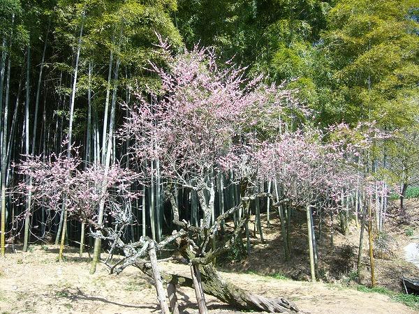 竹藪の中に梅