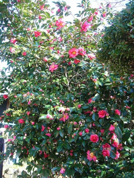 山茶花の花
