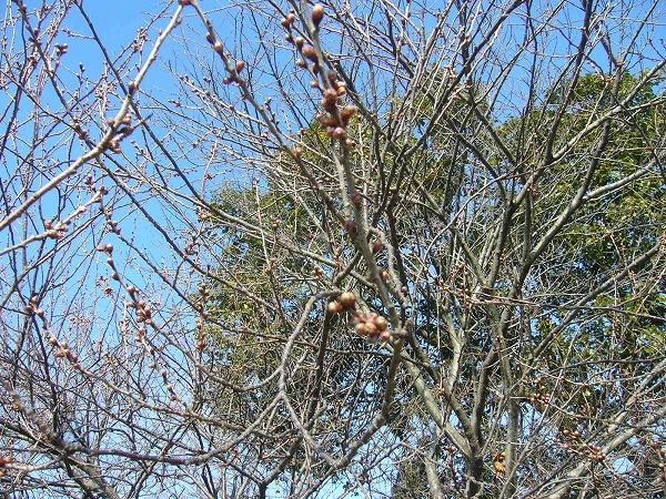 蕾の膨らんだ桜25.2.9