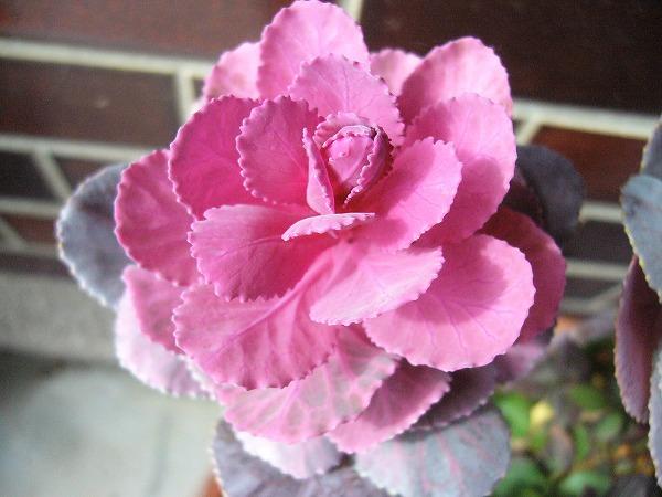 ピンク葉牡丹