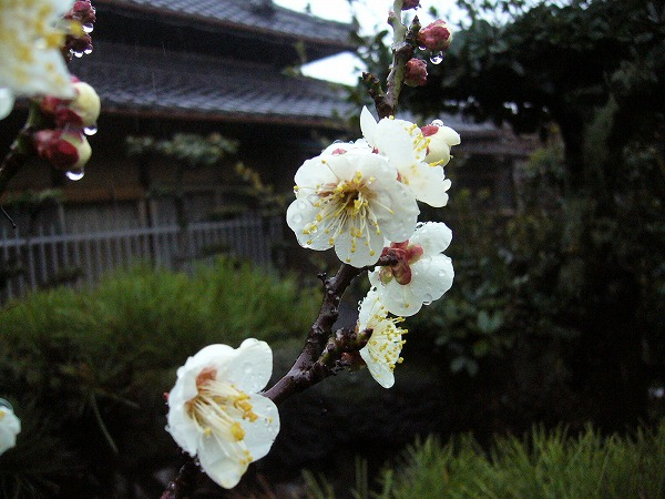 庭の白梅3