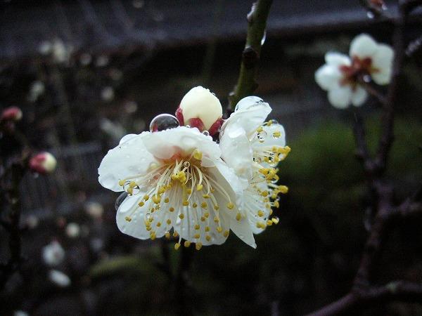 庭の白梅2