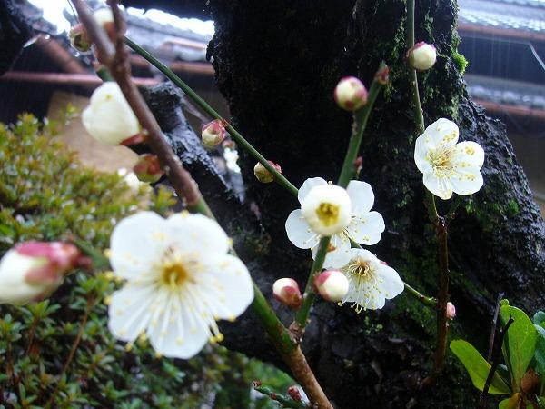 庭の白梅1