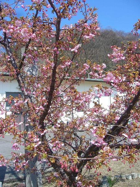 粟島河津桜