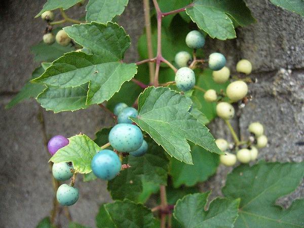 女木島野葡萄2