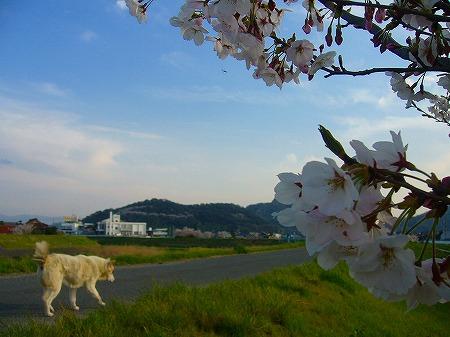 高瀬川桜と犬