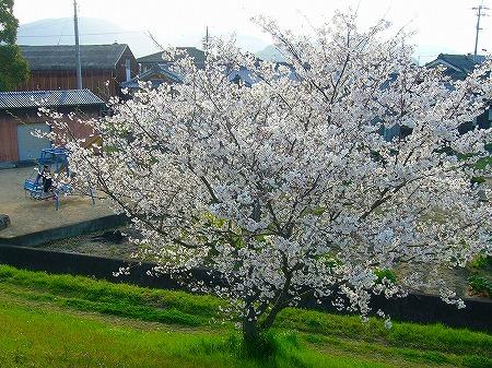 高瀬川桜4