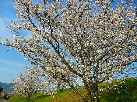 高瀬川桜2