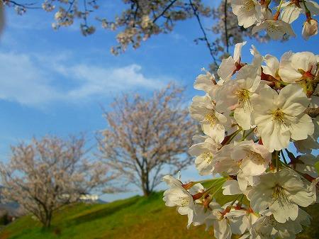 高瀬川桜3
