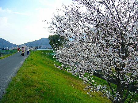 高瀬川桜5