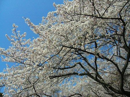 首山観音桜