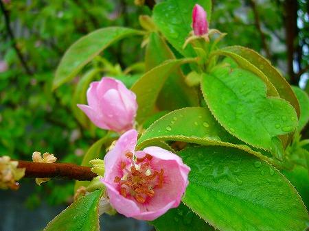 花梨の花1