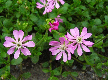 春花壇の花3