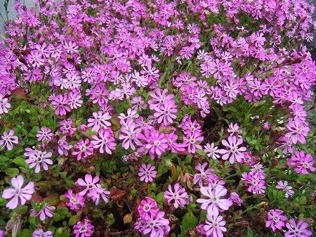 春花壇の花1
