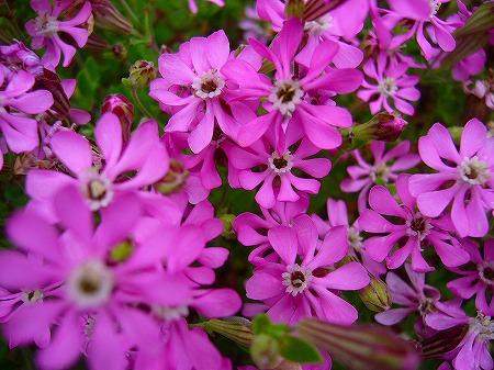 春花壇の花2