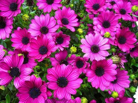 春花壇の花4