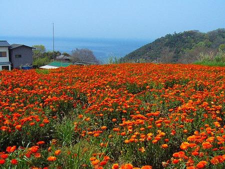荘内半島花畑
