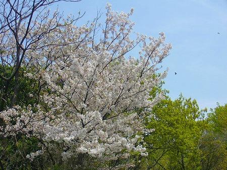 荘内半島の桜