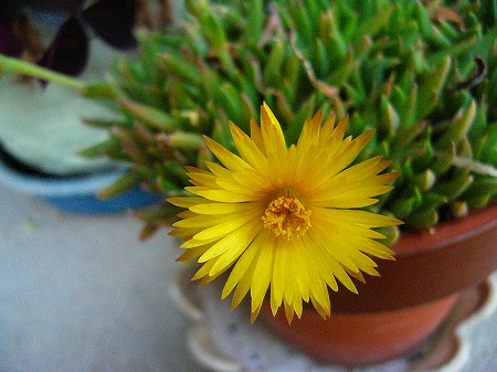 黄色い花4月末