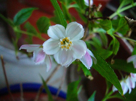 卯の花の仲間2
