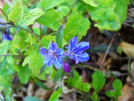 七宝青い花2