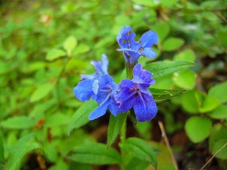七宝青い花1