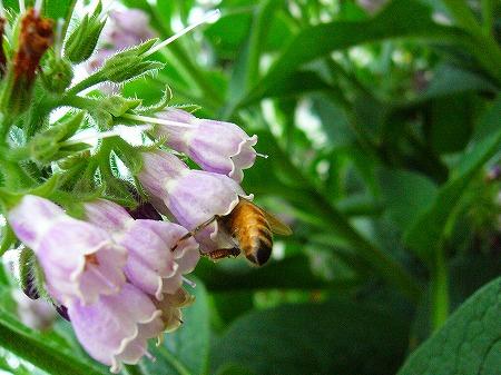 ?の花に蜜蜂