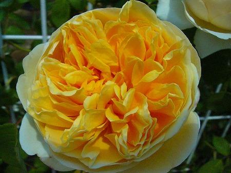変な黄薔薇