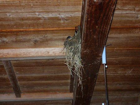 ツバメの巣作り2