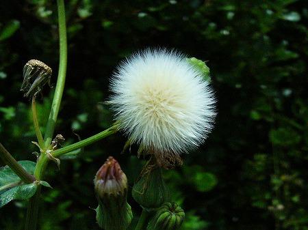 春のノゲシ綿毛