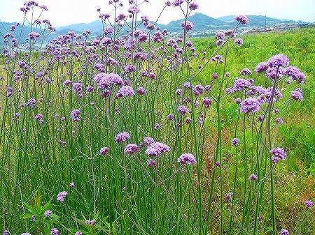 バンザイの花
