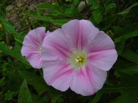 畦道の花2