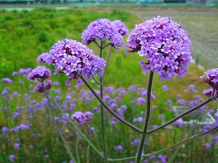 バンザイの花1