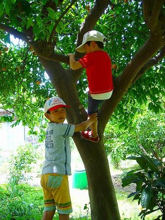 夏みかんの樹登り