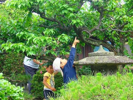 梅の実収穫1