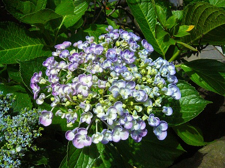 好きな紫陽花1