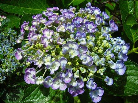好きな紫陽花2