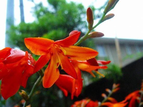 オレンジの花2