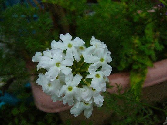 何か白い花