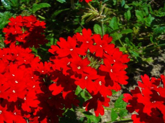 みちくさ(赤い花)