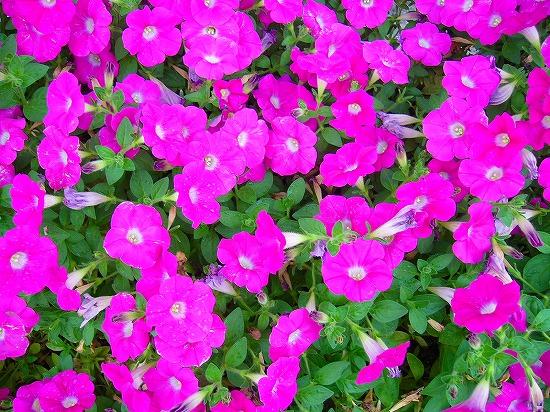 ピンク花多い