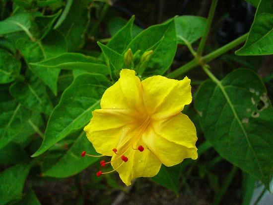 黄色オシロイバナ