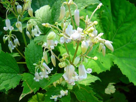 白い花はな